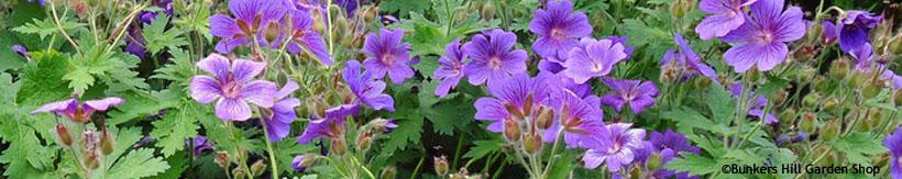 perennials-geraniums-banner.jpg