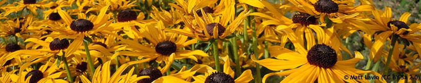 perennials-rudbeckia-banner.jpg