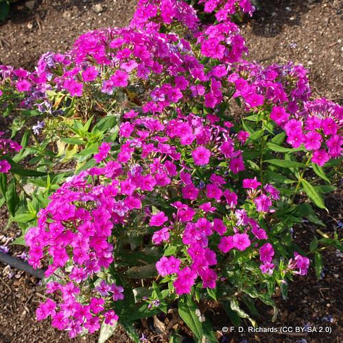 phlox-paniculata-flame-purple-f.-d.-richards-cc-by-sa-2.0-.jpg
