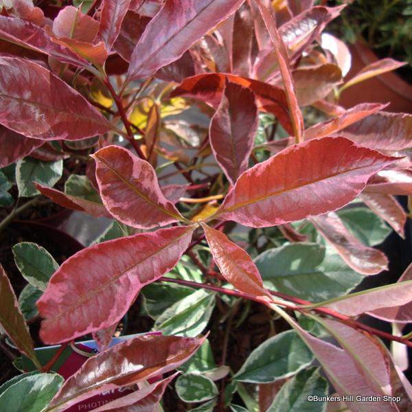 photinia-pink-marble-2-.jpg