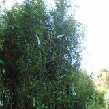 phyllostachys-nigra-55-22978.1528327415.160.160.jpg