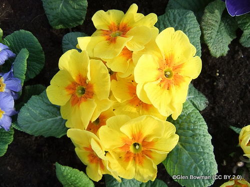 polyanthus-glen-bowman-cc-by-2.0-.jpg