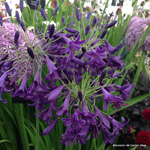 product-categories-agapanthus.jpg