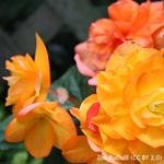 product-categories-begonia-9cm.jpg
