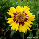 product-categories-coreopsis.jpg