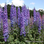 product-categories-delphiniums.jpg