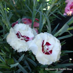 product-categories-dianthus-perennial.jpg