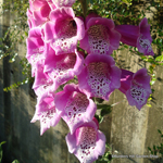 product-categories-foxgloves.jpg