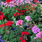 product-categories-geraniums.jpg