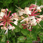 product-categories-honeysuckle.jpg