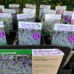 product-categories-lavender-in-1ltr-pots.jpg