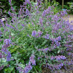 product-categories-nepeta.jpg