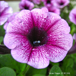 product-categories-petunias-9cm.jpg