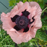 product-categories-poppies.jpg