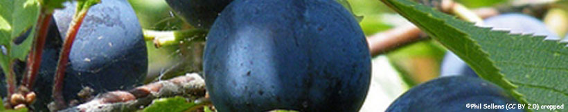 prunus-spinosa-banner.jpg