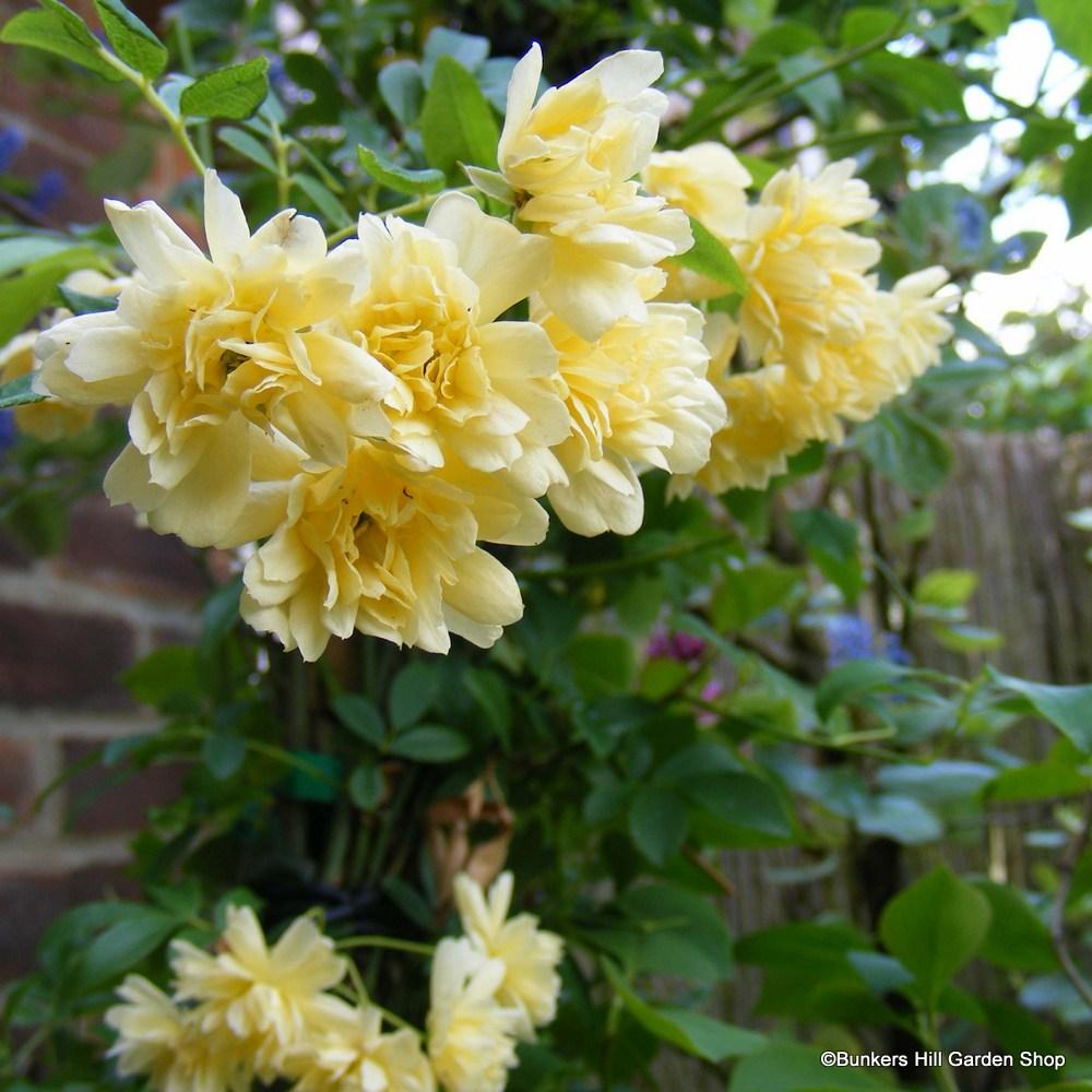 rosa-banksia-lutea.jpg