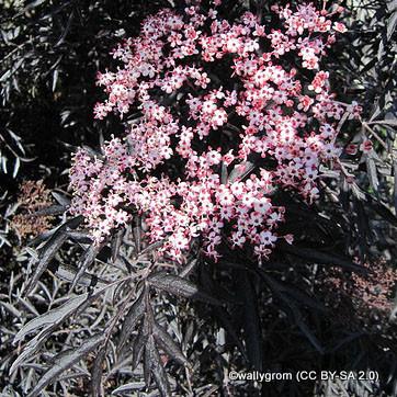 sambucus-black-lace-wallygrom-cc-by-sa-2.0-.jpg