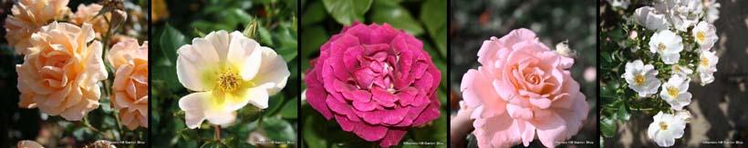 shrub-roses-banner.jpg
