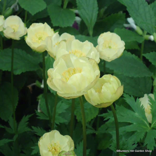 trollius-x-cultorum-new-moon-.jpg