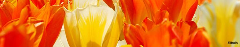 tulip-fosteriana-banner.jpg