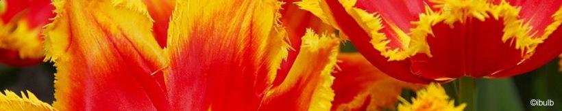 tulip-premium-banner.jpg