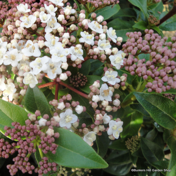 viburnum-eve-price.jpg