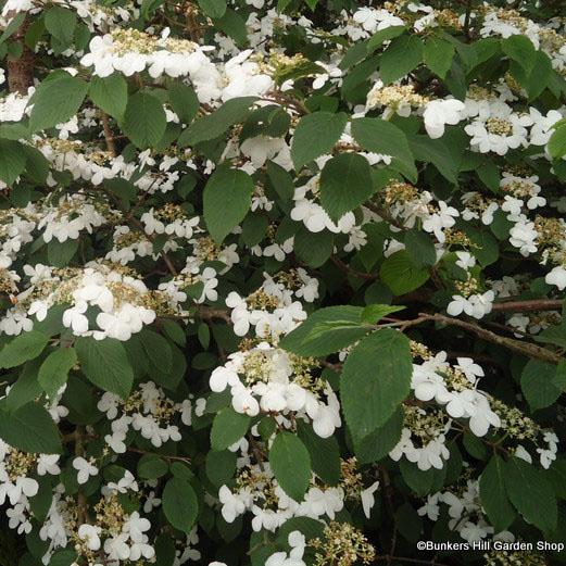 viburnum-plicatum-mariesii-2-.jpg