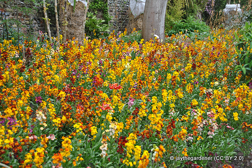 wallflowers-jaythegardener-cc-by-2.0-.jpg