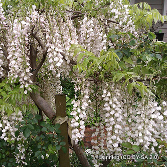 wisteria-annieb-cc-by-sa-2.0-.jpg