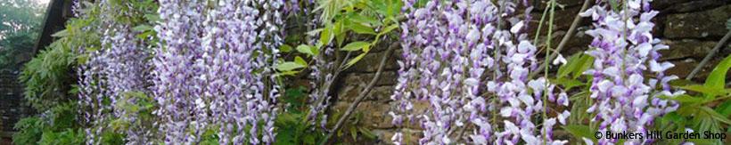 wisteria-banner.jpg