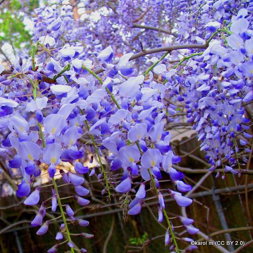wisteria-blue-moon-sim-pic-karol-m-cc-by-2.0-.jpg