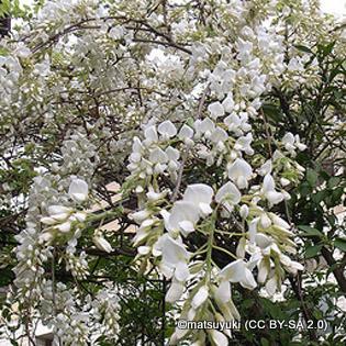 wisteria-matsuyuki-cc-by-sa-2.0-.jpg