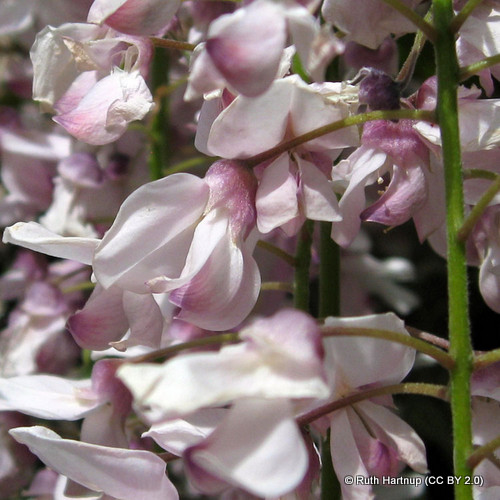 wisteria-pink-ruth-hartnup-cc-by-2.0-.jpg