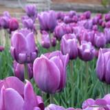 'Bleu Aimable' Tulips