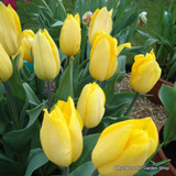 'Golden Melody' Tulips