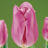 Tulip 'Mistress' - 11, 100 or 250 Bulbs