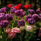 Tulip Alicante