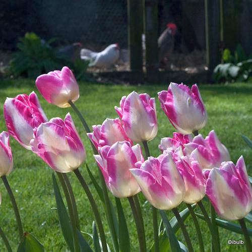 Tulip Just Kissed