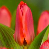 Tulip Coral Satin