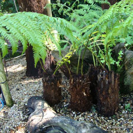 'Potter' Tree Fern