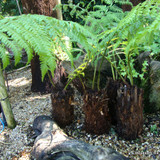 'Potter' Tree Fern