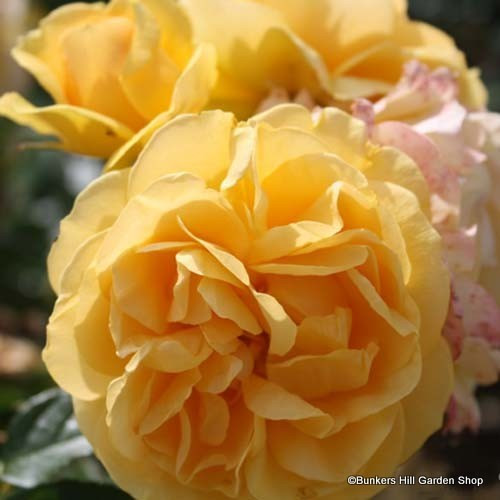 Absolutely Fabulous - Floribunda Rose