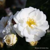 Alberic Barbier - Climbing Rose