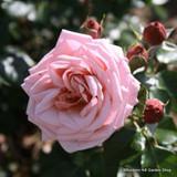 Albertine Climbing Rose