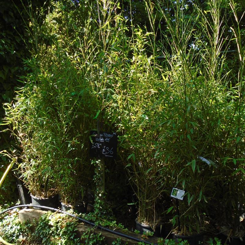 Phyllostachys aurea. Golden Bamboo
