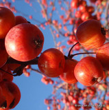 Malus Red Jade