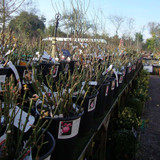 View of bareroot roses in the nursery.