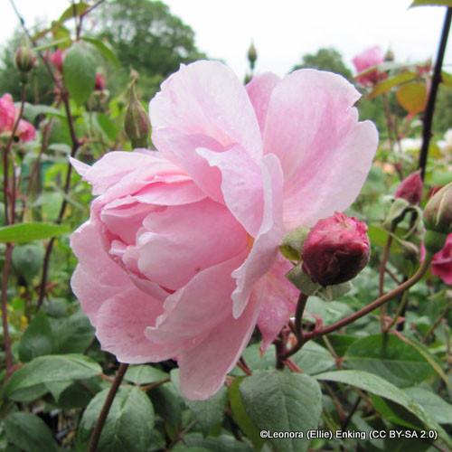 Mortimer Sackler - David Austin English Climbing Rose