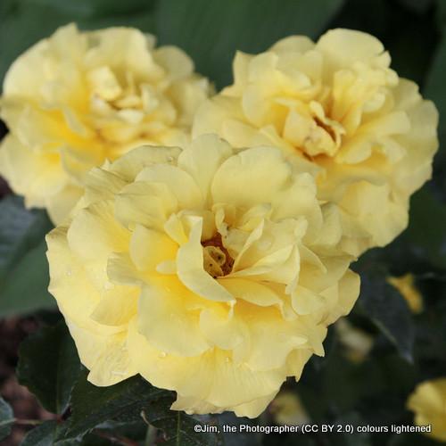 Imogen - David Austin English Shrub Rose