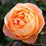 Lady of Shalott - David Austin English Shrub Rose